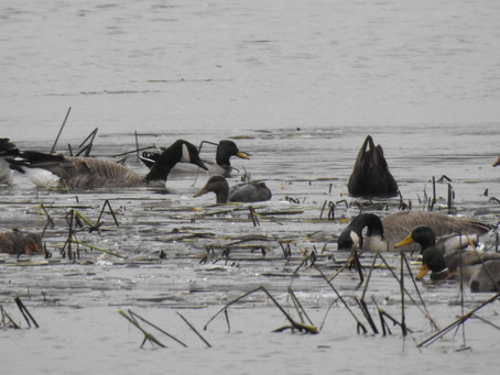 Angling for an American Black Duck