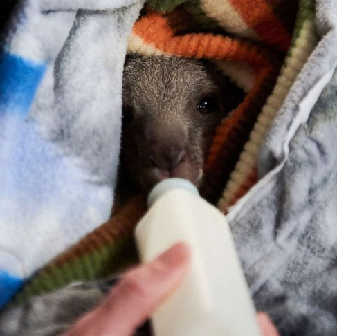 Knitters Create Mittens and Pouches for Koalas and Joeys Injured in Australia's Wildfires