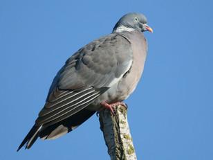 Chasse du pigeon ramier.  Enquête publique en cours.