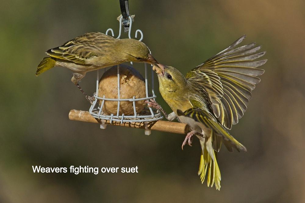 Weaver birds fighting over suet.