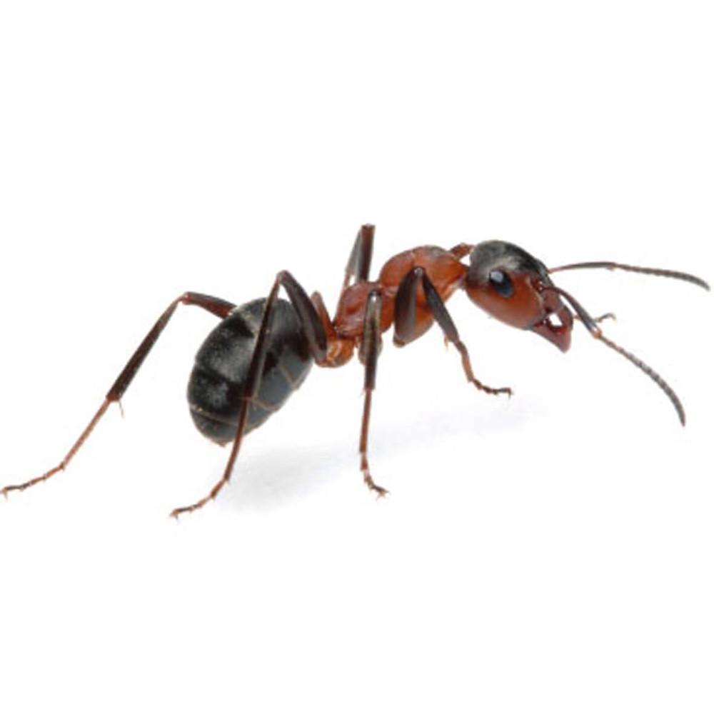 evinizden karıncaları kovmak için etkili yöntem