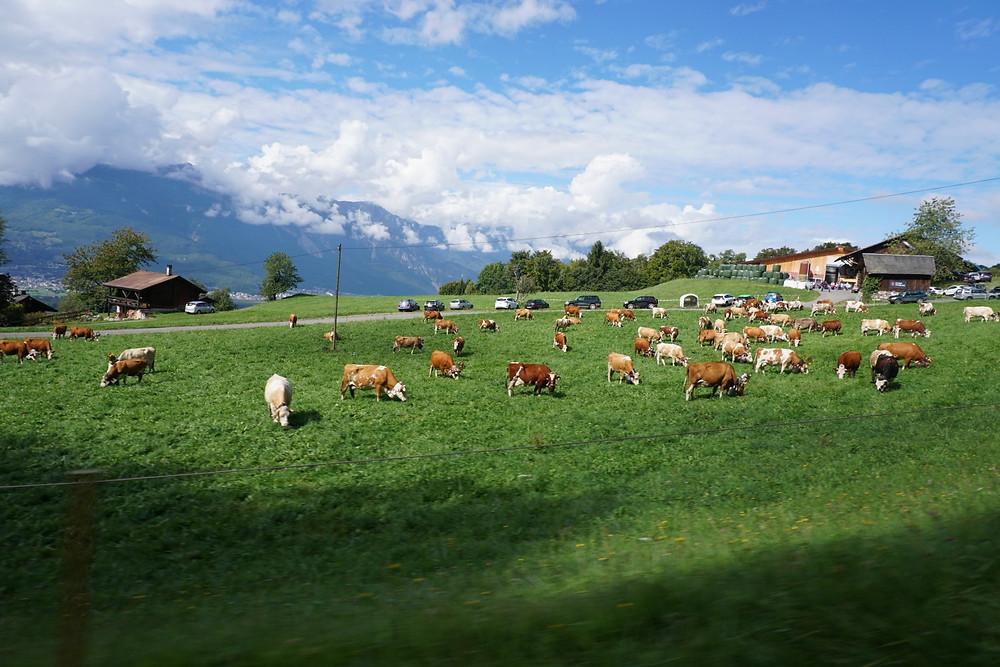 פרות שווייצריות גריון