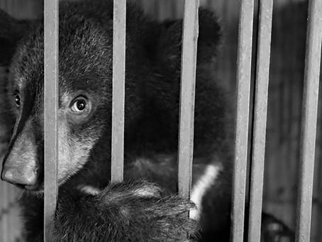 Undercover in Vietnam's Illegal Wildlife Trade - a change of career.