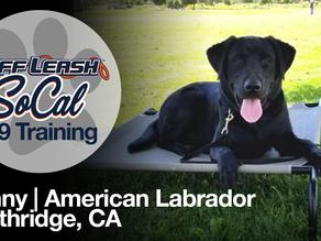Benny | American Labrador | Northridge, CA