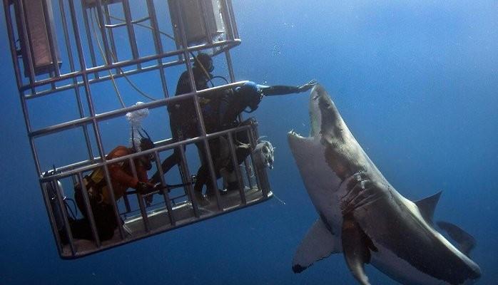 Sharkpetting kræver ultimativ risikostyring.