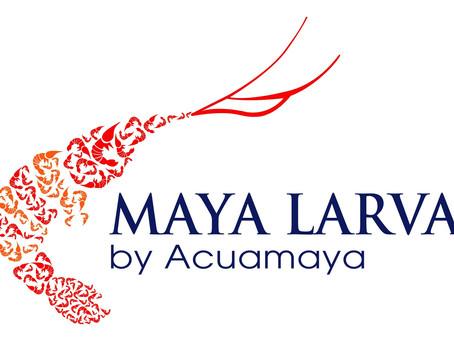 Maya Larva, el secreto detrás de nuestros excelentes camarones en Guatemala y otros países