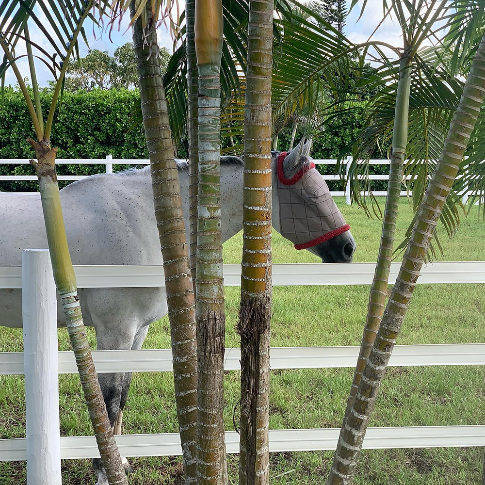 We are beyond proud to announce our inclusion on USHJA's list of Approved Retirement Locations! We join 16 other exclusive farms on the nationwide list as the 4th location in Florida and the only South Florida location. We have 4 stalls opening early this summer, giving you the perfect opportunity to bring your retired equine partner to live with us. Give us a call at (786) 886-9960.