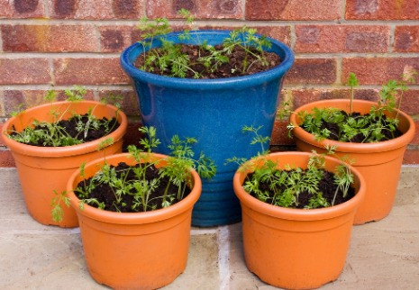 Carrots planted in 5 large plant pots