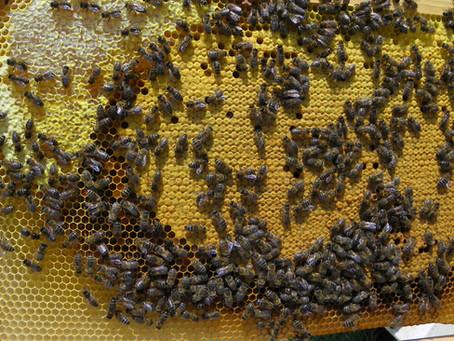 Le printemps pour l'apiculteur