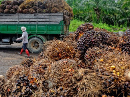 A controversial collaboration: Scientists team up with the palm oil industry