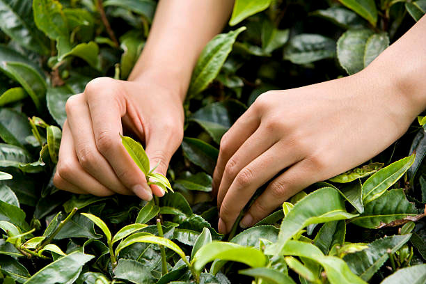 Two tea leaves and a bud being harvested in Japan.