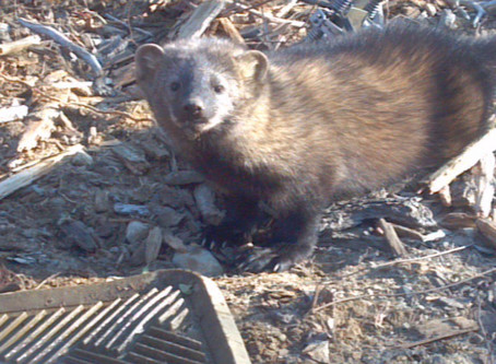 The Day we Saved a Fisher Cat