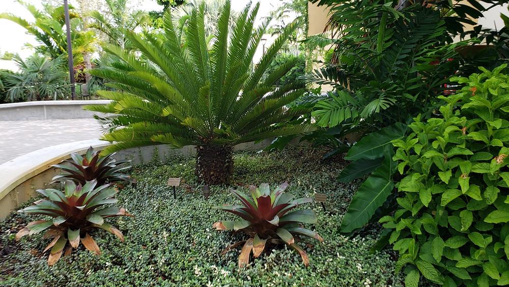 Encephalartos lebomboensis Belen Courtyard, Miami