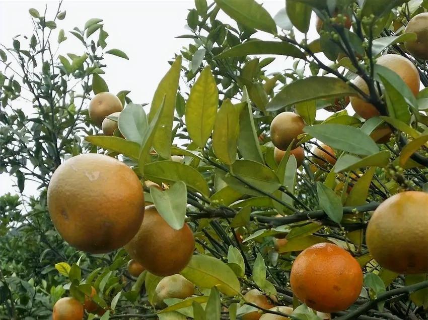 Citrus damaged by HLB