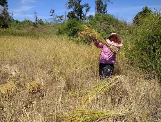 Our Stieng Christians harvesting their rice this month