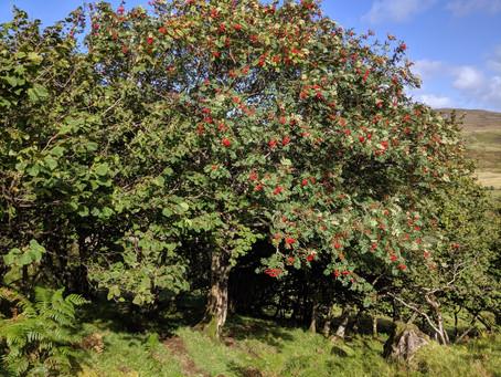 Rowan Tree Revisionism