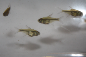 Moenkhausi pittieri (Diamond Tetra)