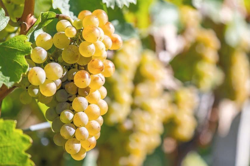 Finger Lakes Riesling Grape