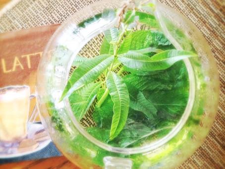 TULSI, LEMON VERBENA, & MINT HERBAL TEA, AND BASIL PESTO RECIPE