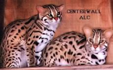 Dr. Centerwal ALC bengal cat