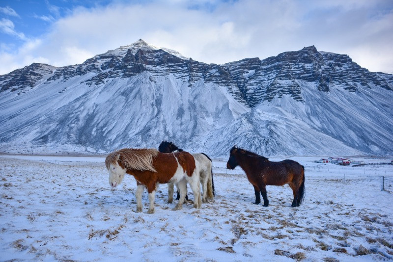 cute icelandic horses in the wild during the winter