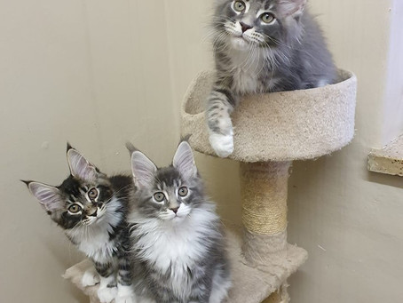 HEY THERE MAINE COON CAT LOVERS