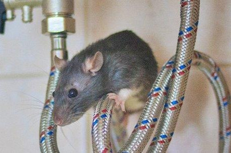 The Trick To Handling a Rat Infestation in your Home