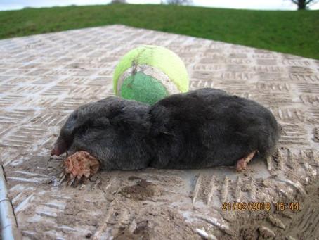 Big male mole