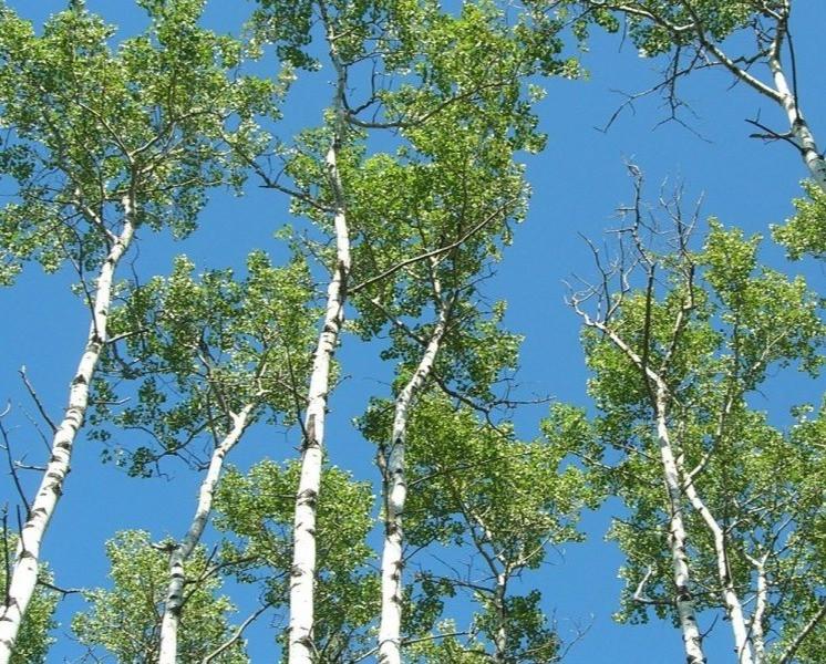 poplar aspen trees in the wild