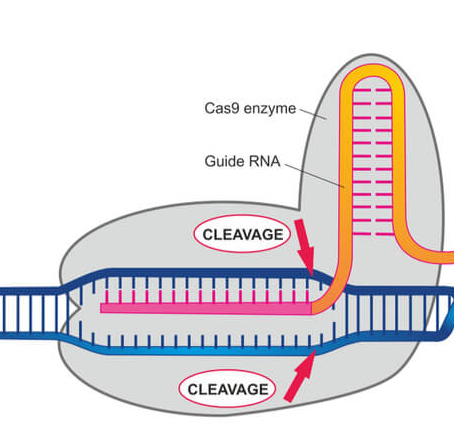 New frontiers in genome editing: harnessing the power of CRISPR enzymes