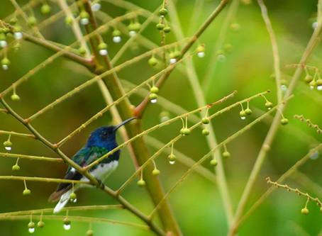 Three birding destinations in the Colombian Caribbean