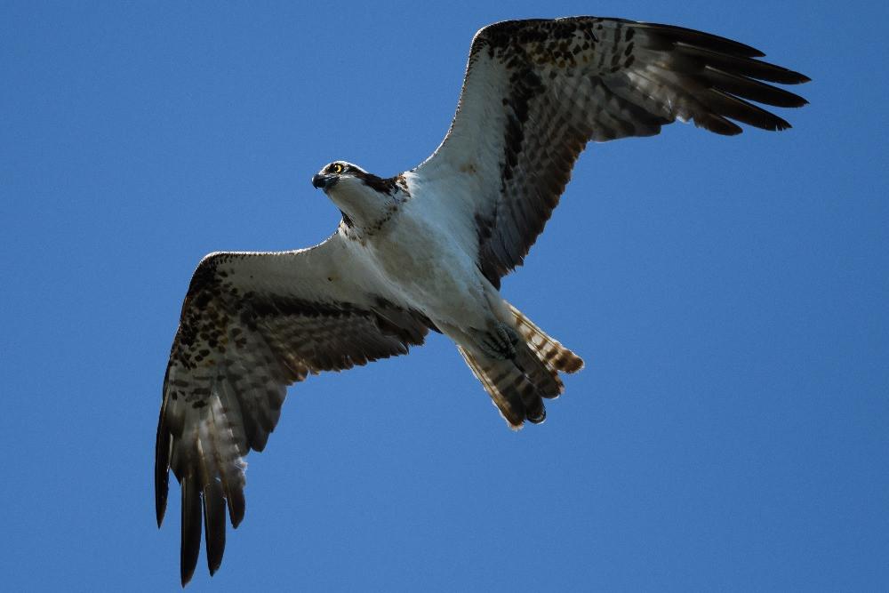 飛行するミサゴ / A flying osprey