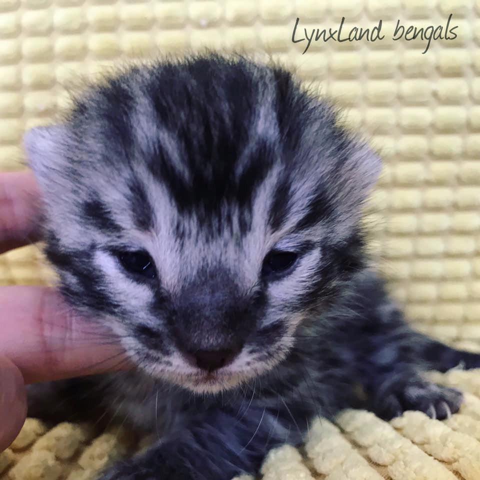 Silver charcoal bengal cat kitten