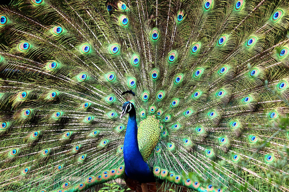 The mythology behind Peacock poses in Yoga