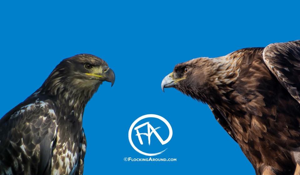 Bald Eagle and Golden Eagle