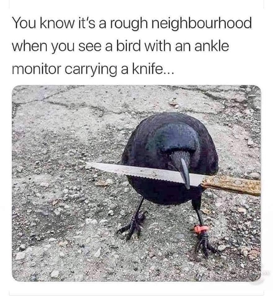 Know it's a rough neighborhood when you see a bird with an ankle monitor carrying a knife Meme & Many More Memes!