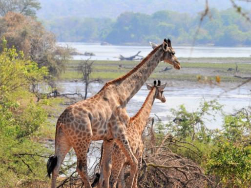 Giraffes have arrived into Malawi's Majete National Park