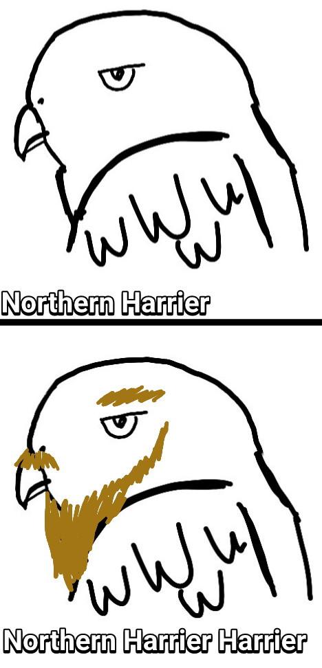 Northern Harrier and a Northern Harrier Harrier