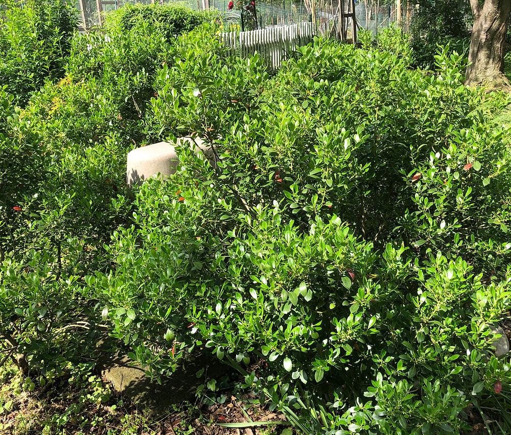 native inkberry shrubs informal style