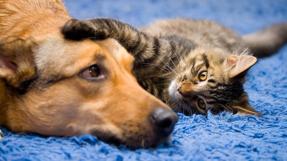 Training Your Dog to Get Along With Other Pets in the Household - Petdiary Dog Training Collars