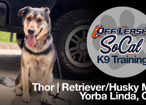 Thor | Retriever/Husky Mix  | Yorba Linda, CA
