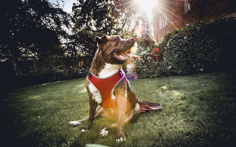 Dog Bridesmaid in Tutu with Light Flare
