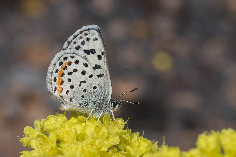 Close-up photo of Ancilla Blue on Round-headed Buckwheat Flower