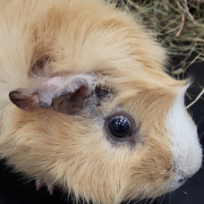 Skin parasites and fungal infections in guinea pigs