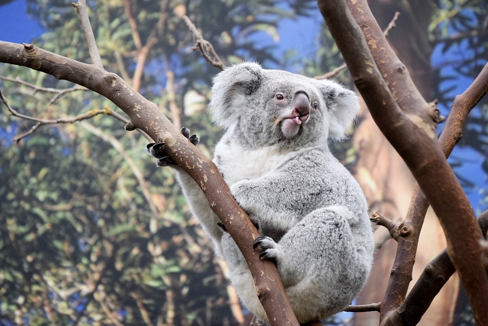 Tidbinbilla Koala - Eucalypt Forest Canberra