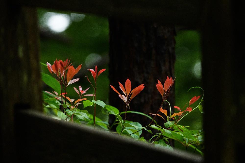 フレームに囲まれた赤い木の葉 / Red leaves in a frame