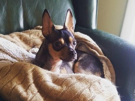 Staff dog: Fredo