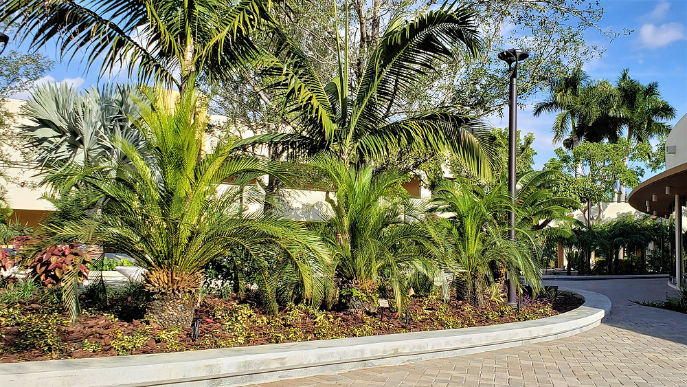 Dioon spinulosum in Belen Courtyard, Miami, Fl