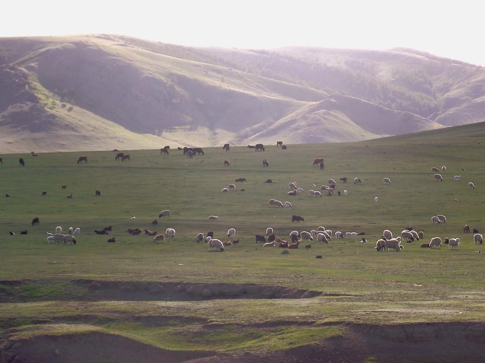 Merinoschafe in der Mongolei