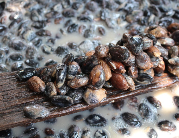 """Distintos estadíos de semillas de T. bicolor en el proceso de """"pudrición""""."""